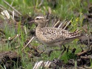 Little Curlew(Numenius minutus)