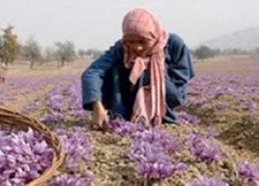 カシミールのサフラン農業