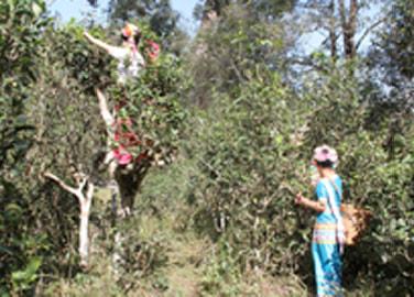 プーアル茶農業生態系システム