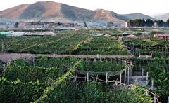 宣化のぶどう栽培の都市農業遺産