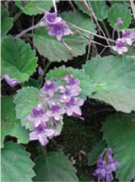 Iwagirisou (Ophithandra primuloides)
