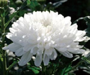 Wheel chrysanthemum
