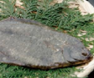 Shiroshita karei (flatfish)